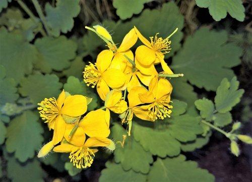 plant  greater celandine  yellow flowers