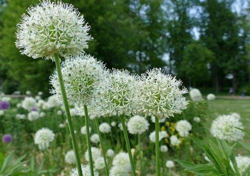plant  zierlauch greenhouse  white