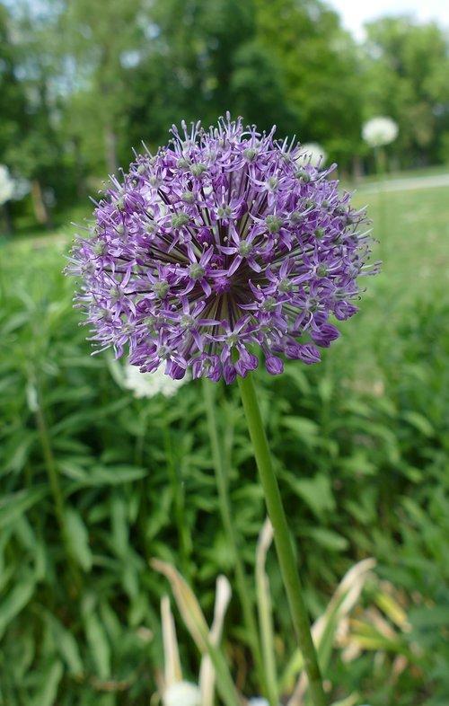 plant  zierlauch greenhouse  purple