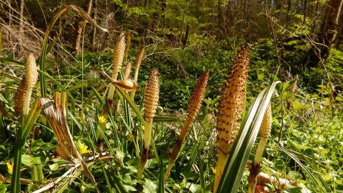 plant horsetail nature