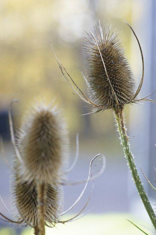 plant  perennial  blue bolltistel