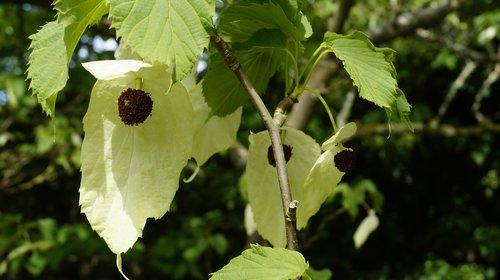 plant  handkerchief tree  blossom