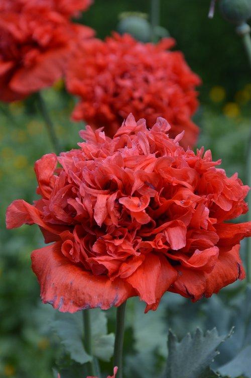 plant  poppy  flowers