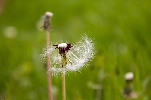 plant  green  dandelion