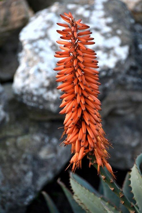 plant  flower  aloe