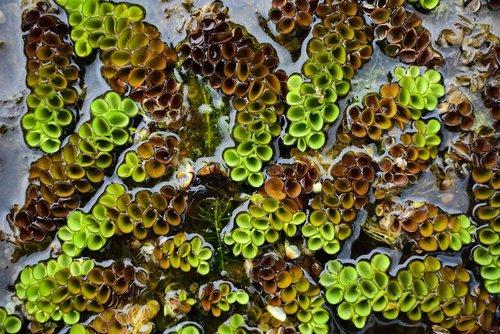 plant  aquatic plants  floating aquatic plants