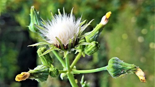 plant  dandelion  arable sow-thistle