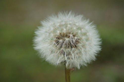plant  dandelion  fluffy