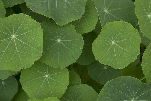 plant  nasturtium  leaves
