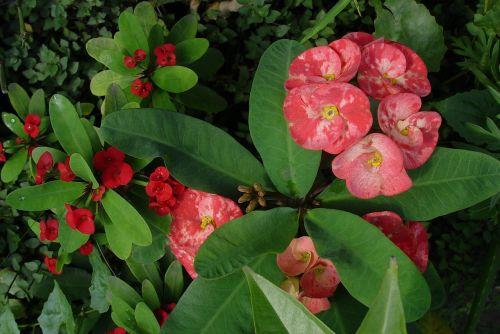 plant flowers euphorbia