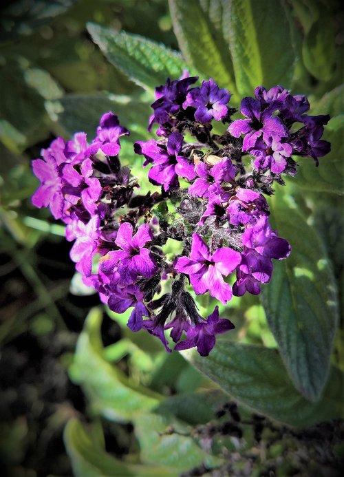 plant  vanilla flower  heliotrope