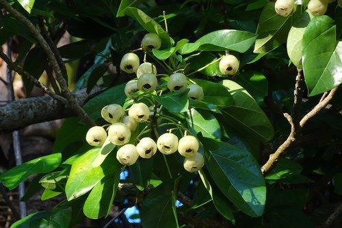 plant  fruit  lantern tree