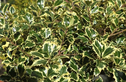 plant  bush  holly