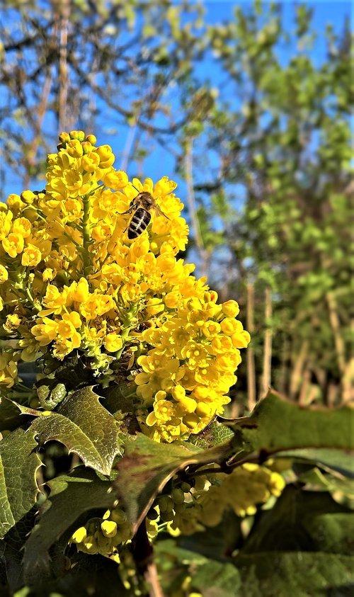 plant  mahogany  ordinary mahogany