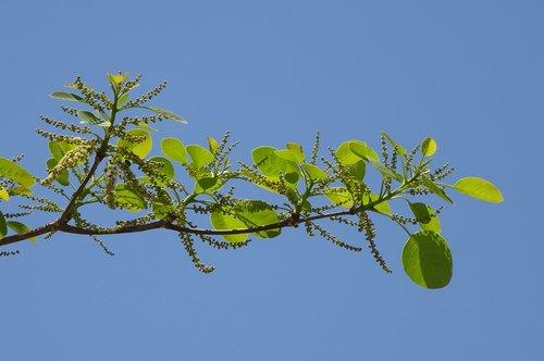 plant  terminalia bellirica  bahera