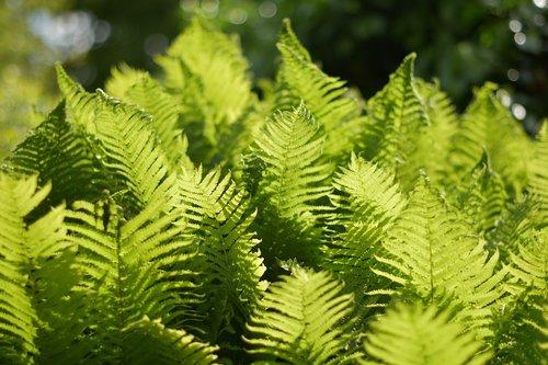 plant  leaf  fern