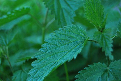 plant green stinging nettle