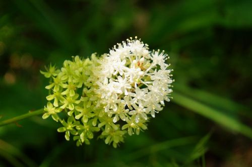 augalas,laukiniai,gėlė,žiedas,žydėti,makro,Iš arti,balta,gėlių,gamta,spalva,šviežias,flora