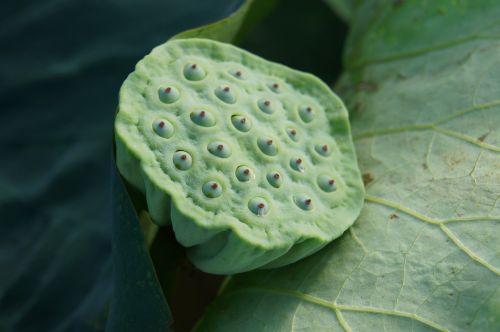 plant green lotus root
