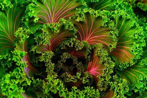 plant mangel kale