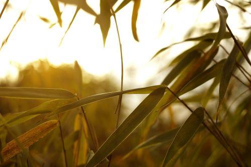 augalas,žalias,lapai,bambukas,makro,Iš arti,žolė,flora,šviežias,lapija,apšvietimas,šviesus,saulė,šviesa,aplinkosauga,gamta,ekologija