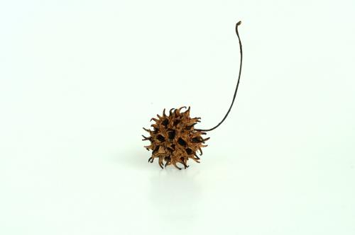 plant seed acorn
