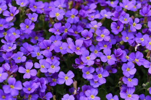 plant flowers blue