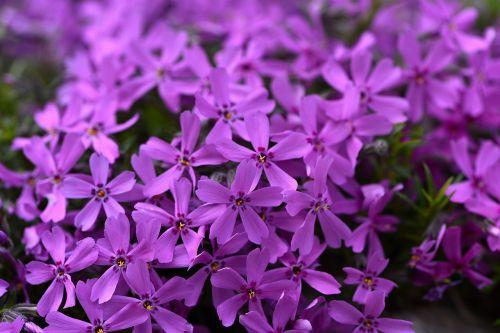 plant cushion flower cushion phlox