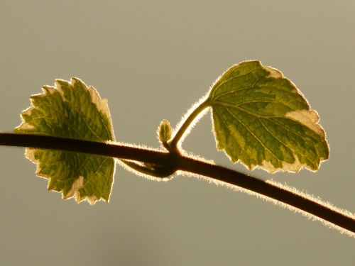 plant leaf back light