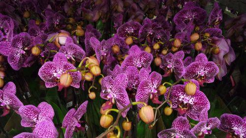 plant purple phalaenopsis orchid