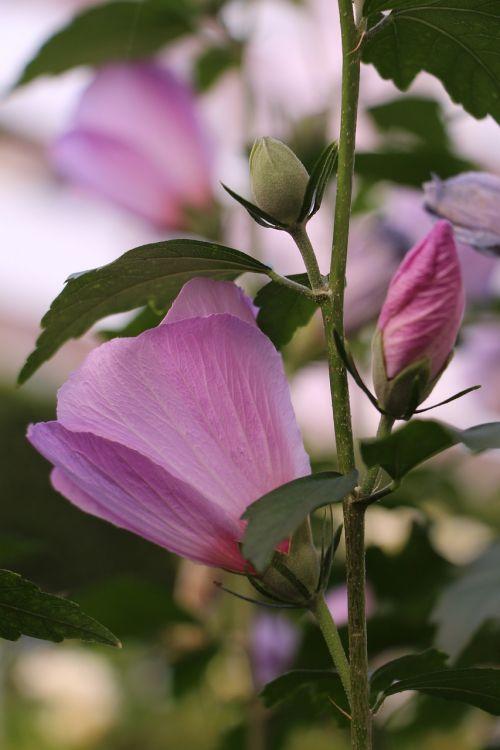 plant flower rosa