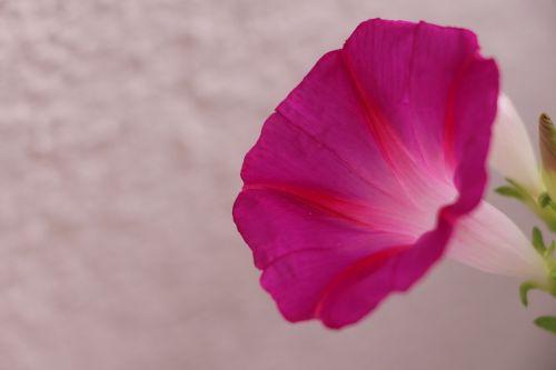 augalas,gėlė,sodas,trapi,gėlės,gamta,pavasaris
