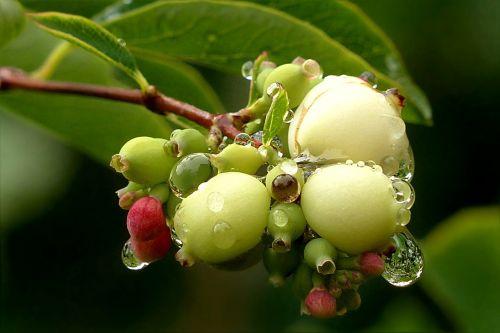plant snow berry snowberry albus