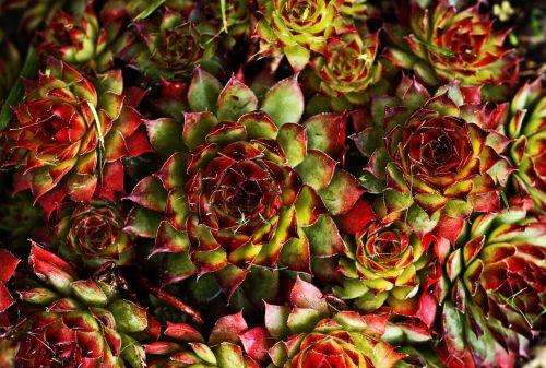 plant succulents succulent