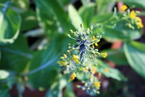 Plant Lice On Bokchoi Flowers