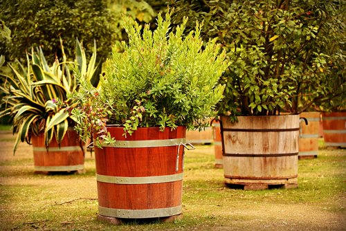 plant tub  plants  mediterranean