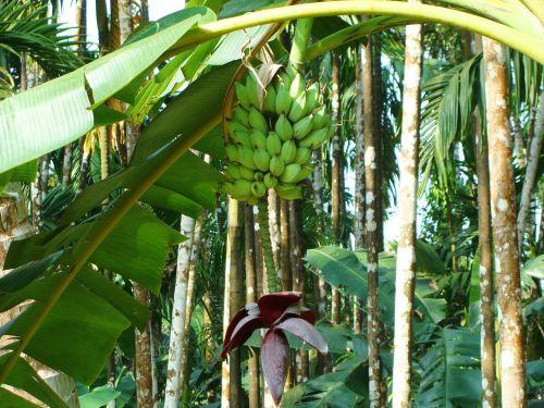 plantain green banana