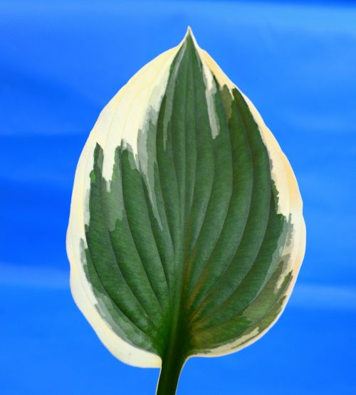plantain lily hosta minute man