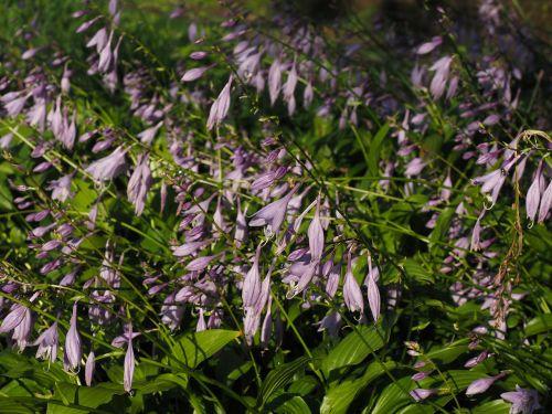 plantacinė lelija,gėlės,violetinė,violetinė,šviesiai violetinė,Hosta atliko,funky spreng,mylėtojų lelijos,agavengewächs,liliaceae,hosta longipes,Lapų lapų augalas