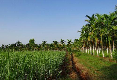 plantation areca nut areca palm