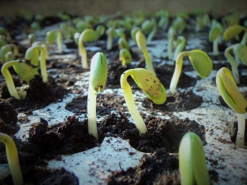 plants soybean soy
