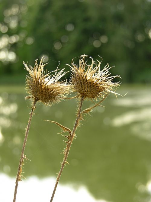 plants thistle prickly