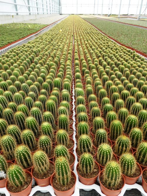 plants cactus spines