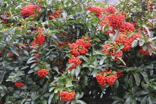 plants bush green leaves red berries