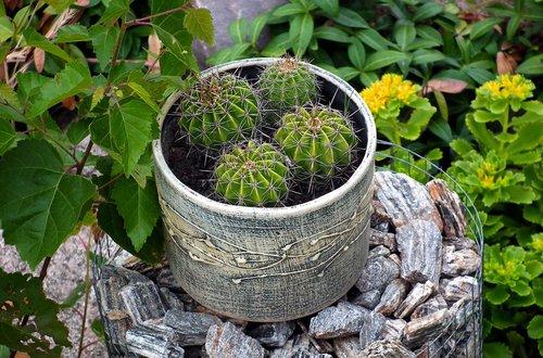 plants  cacti  flower pot