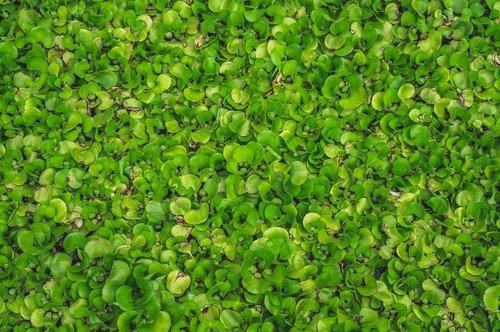 plants  hyacinth  lotus