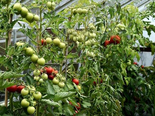plants  greenhouse  tomatoes