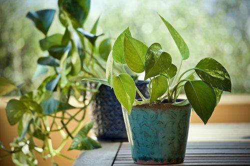 plants  pothos  epipremnum aureum
