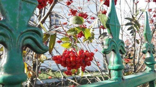 plants  red rowan  rowan
