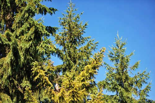 plants coniferous green